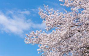 春だ!桜だ!ドローン空撮だ!